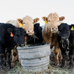 The Cows of 5280 Beef