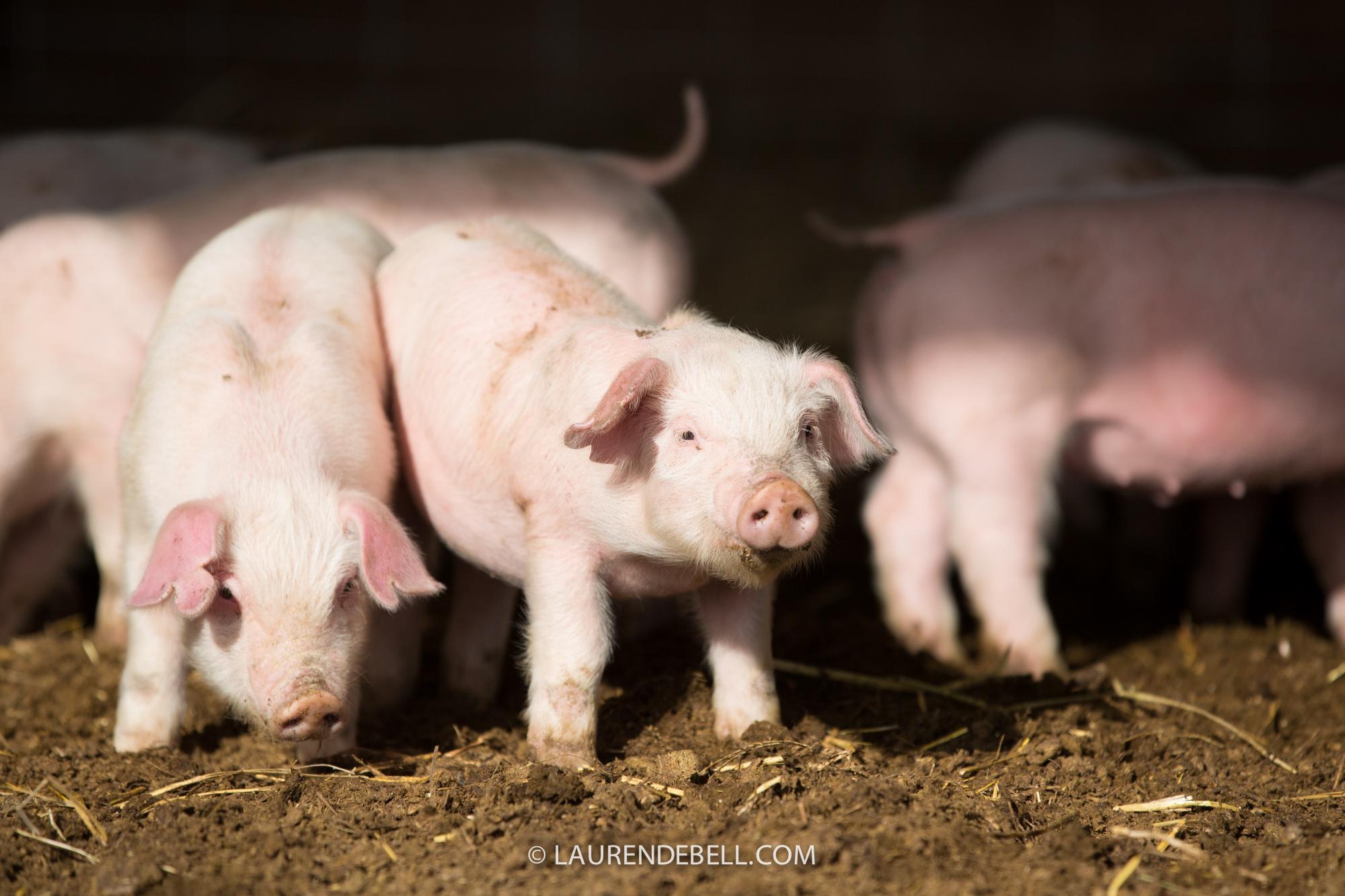 5280 Pigs