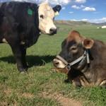 5280 Cows